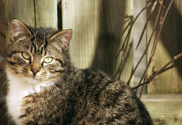 cat found in Pointe-St-Charles