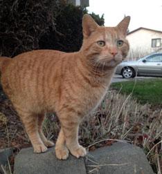 cat found in St-Eustache