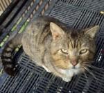 Tabby found in St-Henri