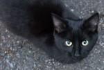 Black cat found in St-Lambert