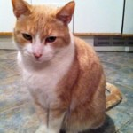 cat found in Ville Mont-Royal