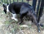 Boston terrier found in Hochelaga