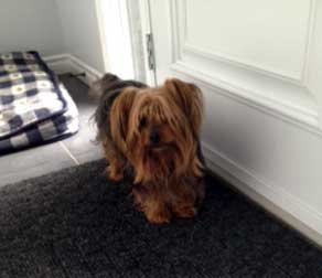 dog found in Lachenaie