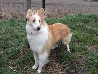 Sheltie found in La Prairie