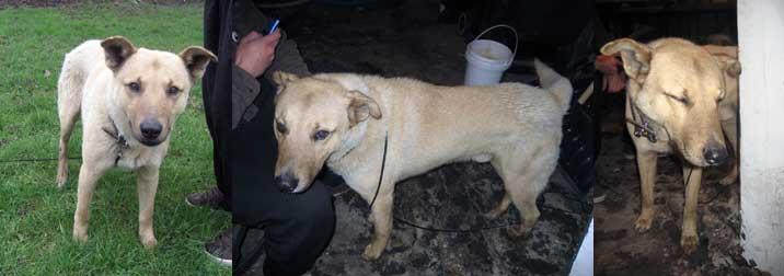 dog found in St-Jean-sur-Richelieu