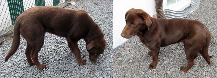 dog found in St-Jérôme