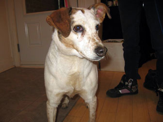 Jack Russell found in St-Michel