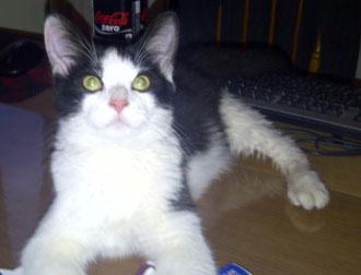 kitten found in Mercier-Hochelaga-Maisonneuve