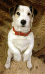 Jack Russell lost in Rougemont