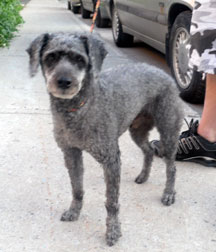 Poodle found in Rosemont