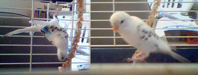 parakeet found in Laval