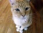 orange and white cat found in Lachine