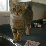 cat found in St-Lazare
