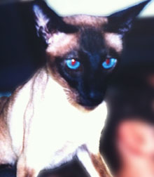 Siamese cat lost in the Plateau