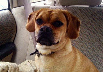 Puggle found in Verdun