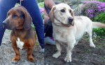 dogs found in Ste-Marguerite-du-Lac-Masson