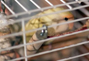 lovebird found in Brossard