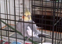 cockatiel found in Mascouche