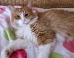 Orange and white cat found in La Prairie