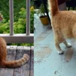 orange cat found in the Plateau