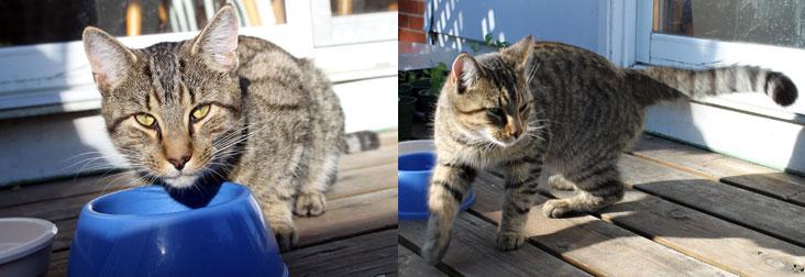 cat found in Pointe-Claire