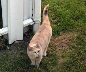 cat found in Ville Saint-Laurent