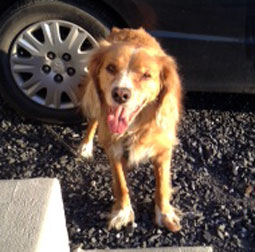 dog found in Chambly-at AMR