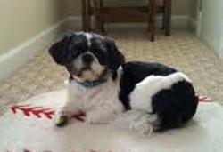 dog lost in St-Michel