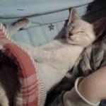 Siamese lynx kitten lost in Blainville