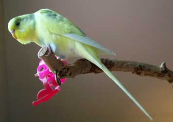 Lost yellow parakeet