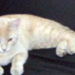 cat found in Chomedey orange
