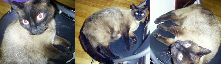 Siamese cat found in the Plateau