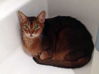 Abyssinian found in Rosemont