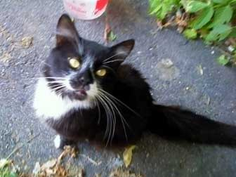 cat found in South-Central Montreal