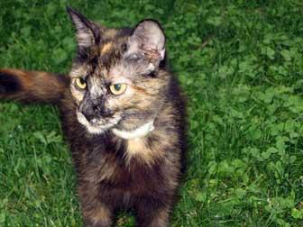 cat found in St-Lambert