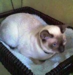 Siamese cat lost in NDG