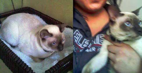 Siamese cat lost in NDG