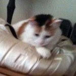 cat lost in St-Jean-sur-Richelieu