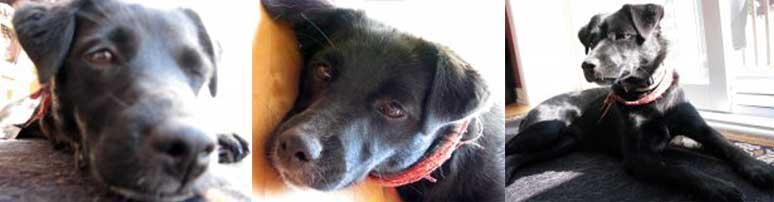 dog found in Boisbriand