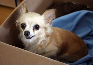 chihuahua found in St-Hubert