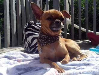 chihuahua lost in Beauport