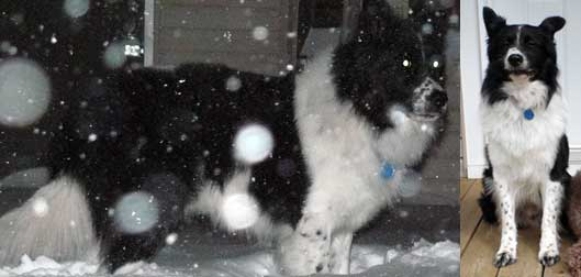 Border Collie lost in Morin-Heights