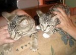 2 kittens lost in Longueuil