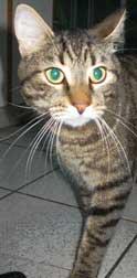 cat found in Ahuntsic-tabby