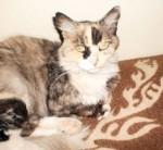 Calico cat found in Chomedey