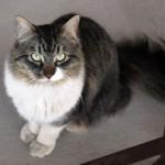 cat found in Ville Saint-Laurent