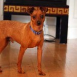 pinscher found in Boisbriand