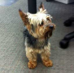 dog found in Laval-Yorkshire