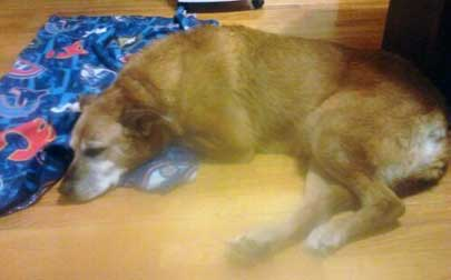 dog found-St-Roch-de-l'Achigan