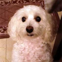 poodle lost in Villeray